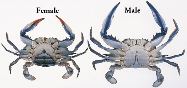 how to tell the difference between a male crab and a female crab