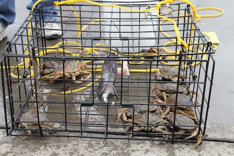crabs caught in the cage