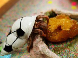 soccer shell crab